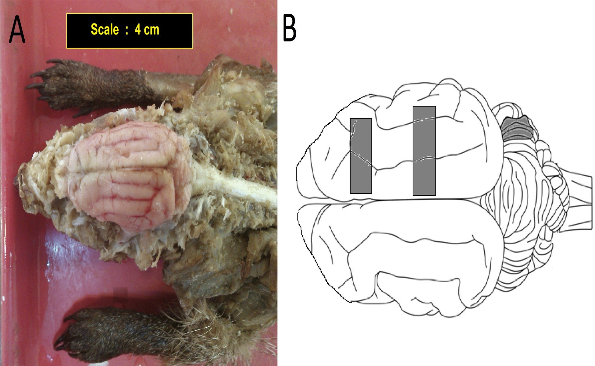 Structure of the brain after removing the skull in an adult mongoose (Dorsal view). B: Areas for tissue sampling of the cerebrum and cerebellum
