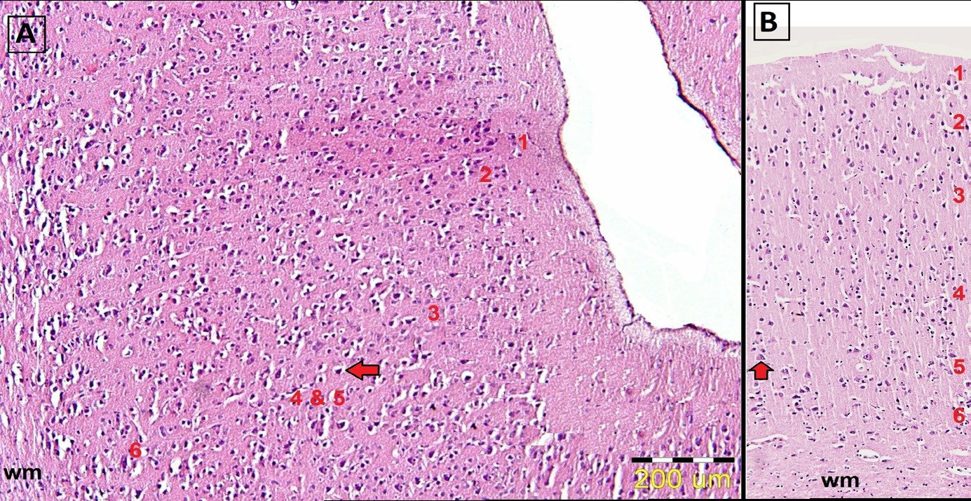 Photomicrograph of cortex  layers  in  the  parietal  lobe  (A)  and  fron- tal lobe (B) in the mongoose's cerebrum. Stain: H&E.
