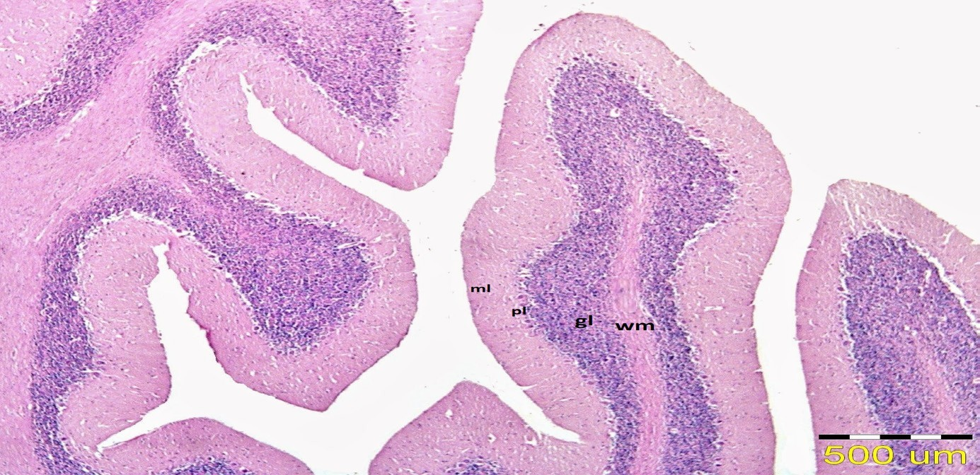 Photomicrograph of mongoose's cerebellum. Stain: H&E.